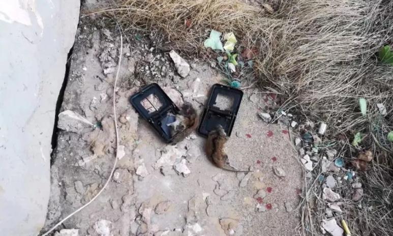 被夹死的老鼠